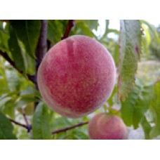 Briggs Red May white peach (organic) SOLD OUT