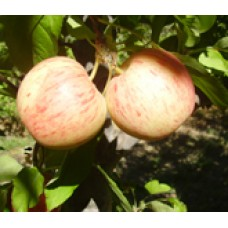 Gala, DWARF (organic) SOLD OUT