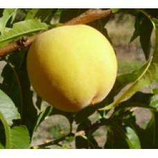 Golden Queen cling peach (organic)