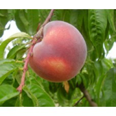 Tasty Zee white peach (organic) SOLD OUT