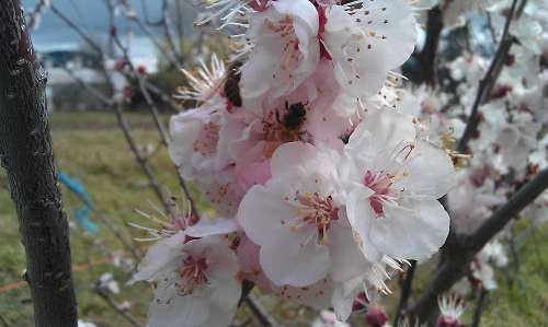 apricot blossom, bee, pollination