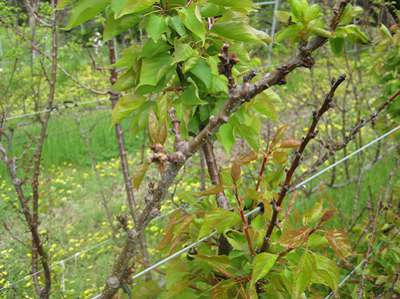 apricot, disease, blossom blight