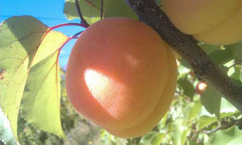 earlicot apricot
