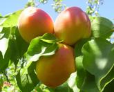 castlebrite apricot