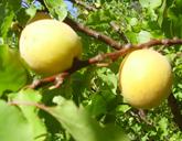 patterson apricot